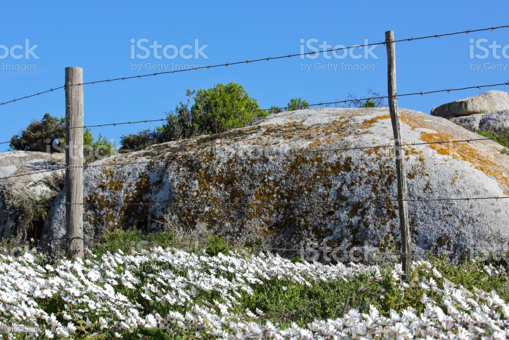 Cape Marigold (dimorphotheca pluvialis) flowers and picket fence stock photo