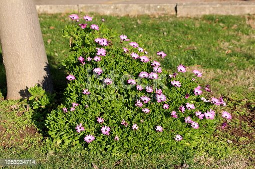Cape marigold or Dimorphotheca or African daisy annual ornamental flower plant with open blooming light purple to white petals and dark center surrounded with dense light green leaves growing in shape of small bush in local home garden next to old tree