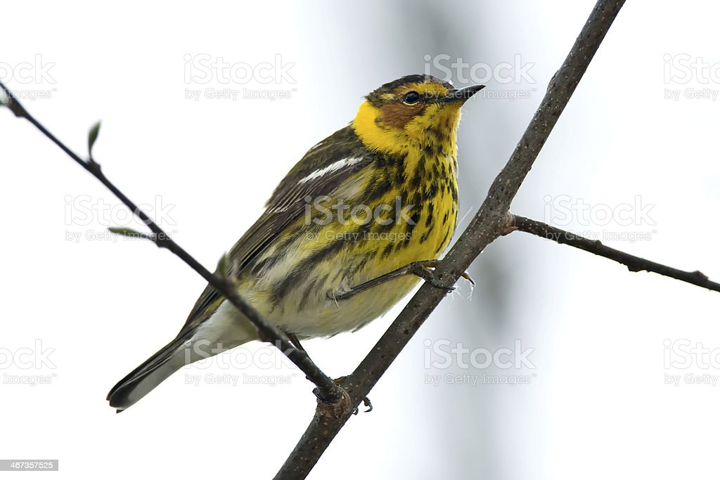 Cape May Warbler royalty-free stock photo