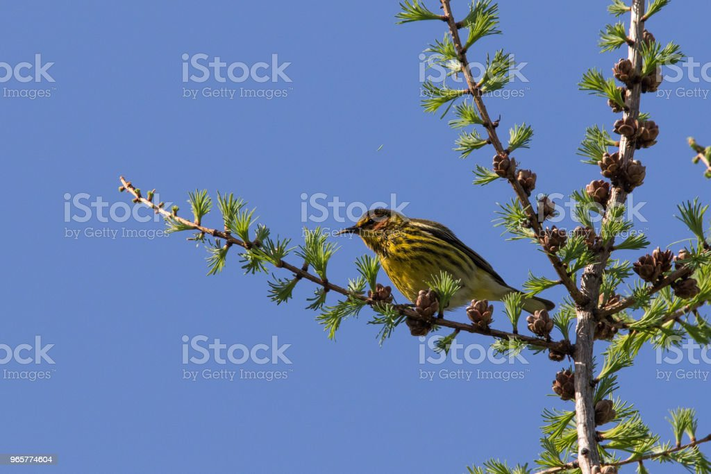 Cape May warbler - Royalty-free Animal Stock Photo