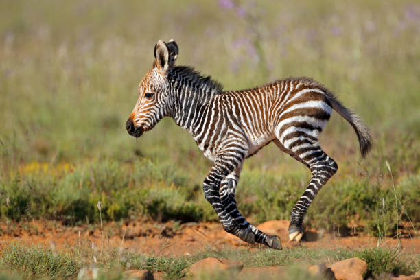 Cape mountain zebra foal running Cape mountain zebra (Equus zebra) foal running, Mountain Zebra National Park, South Africa foal young animal stock pictures, royalty-free photos & images