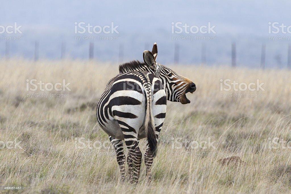 Cape mountain zebra stock photo