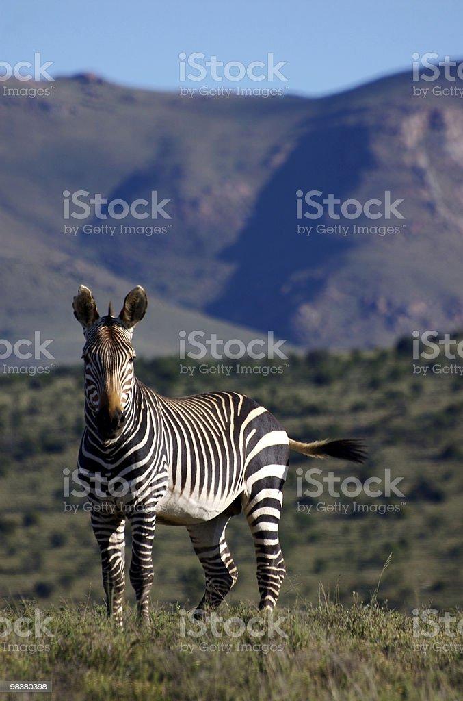 Cape Mountain Zebra royalty-free stock photo