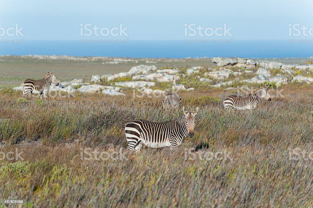 cape mountain zebras in coastal landscape, south africa stock photo