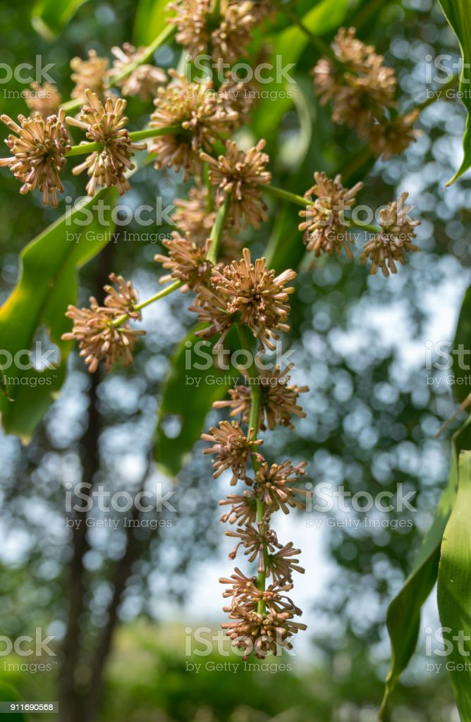 Cape of Good Hope flower (Dracaena fragrans) with soft bokeh background) stock photo