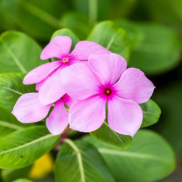 Cape Immergrün Blume – Foto