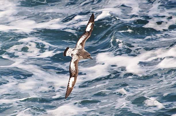 Cape Petrel Glides - Photo