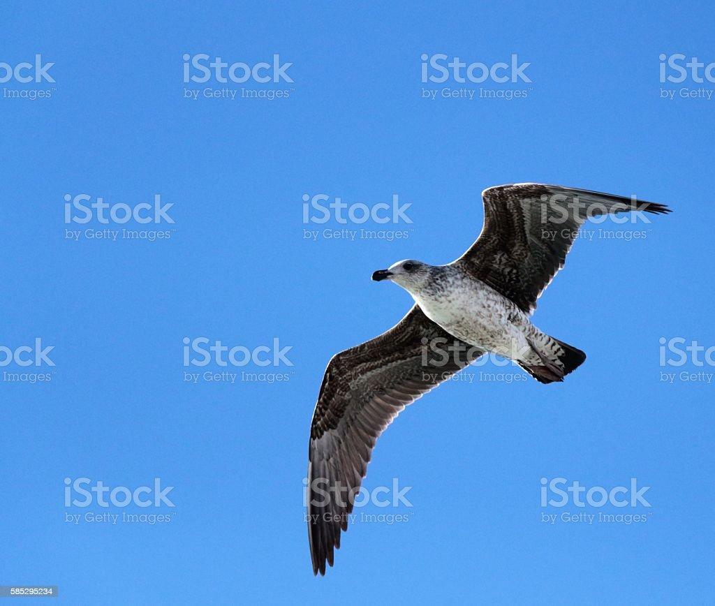 Cape Petrel - In Flight stock photo