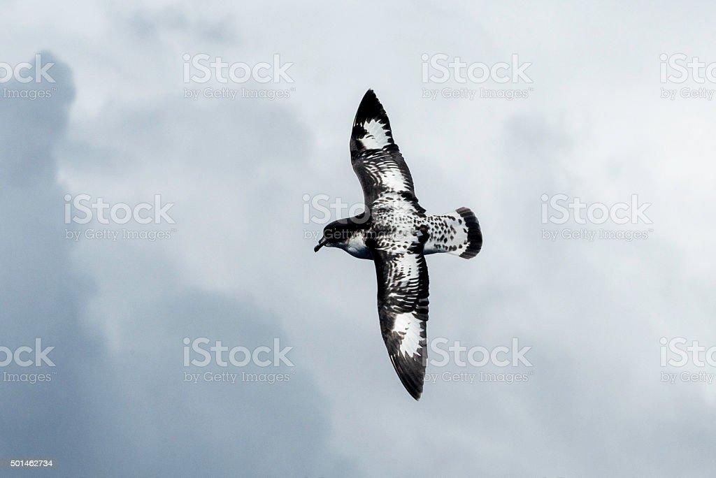 Cape Petrel ( daption capense) stock photo