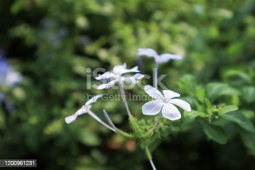 Cape plumbago (Plumbago auriculata) plant, known also as blue jasmine, with flowers.