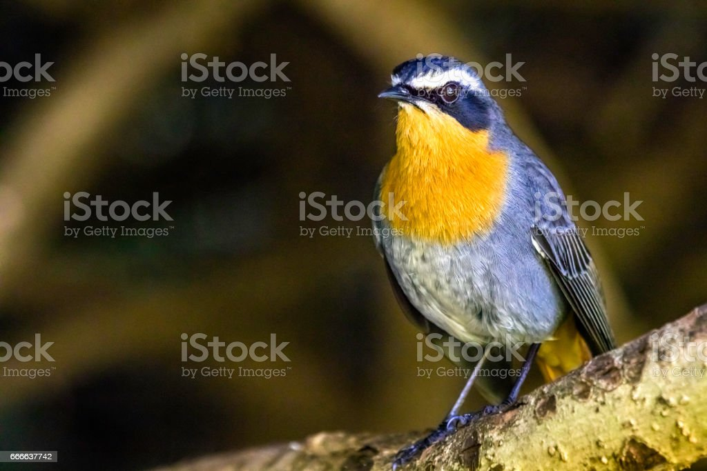 Cape robin chat (Cossypha caffra) stock photo