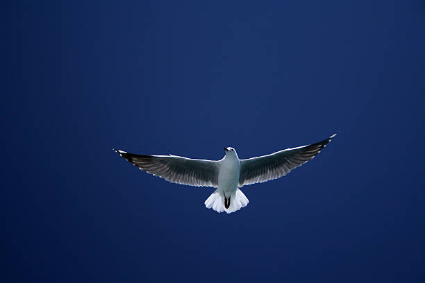 Cape Seagull stock photo