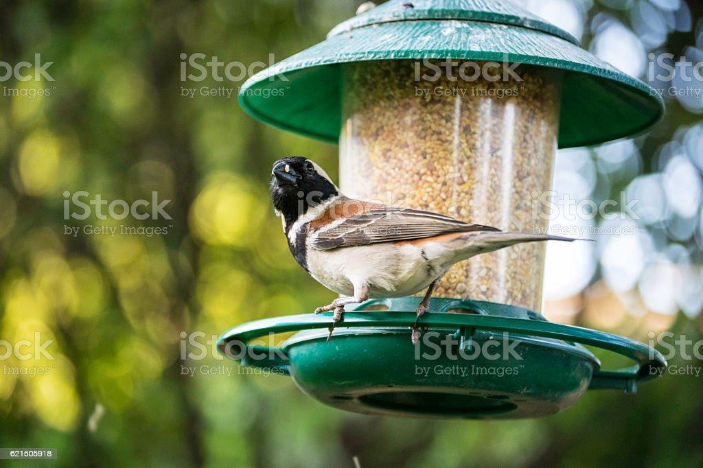 Cape Sparrow Lizenzfreies stock-foto