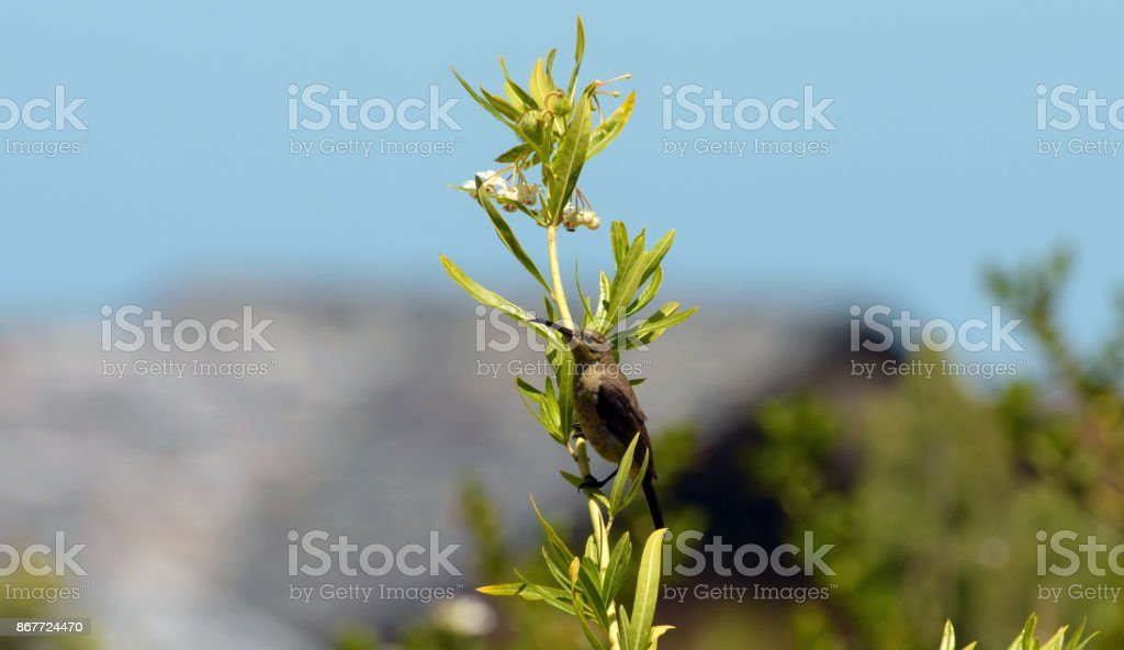 Cape Sugar bird, female,  Promerops cafer, milkweed plant with white flowers South Africa stock photo