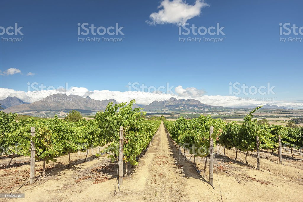 Cape Town Vineyard Stellenbosch South Africa royalty-free stock photo