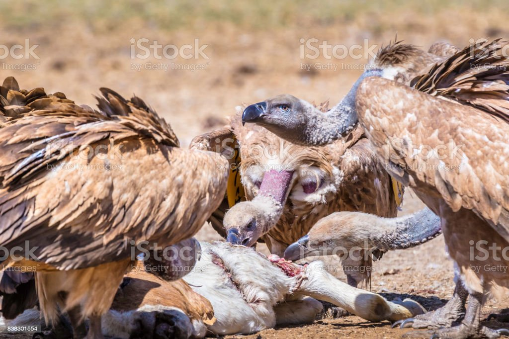 Cape vulture (Gyps coprotheres) close-up feeding stock photo