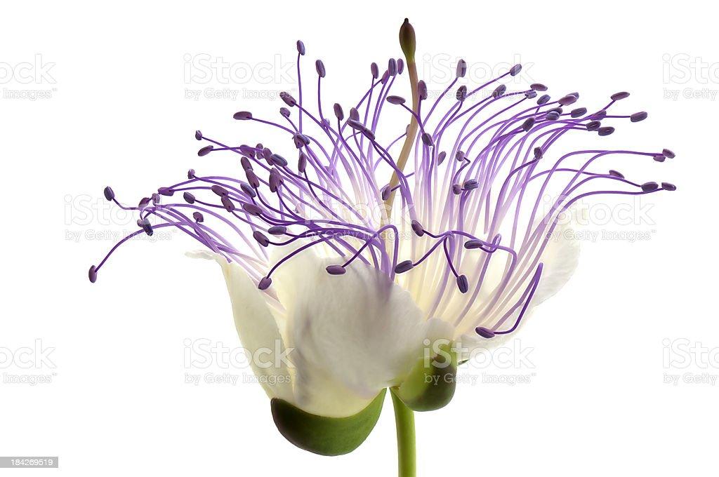 Caper Flower closeup royalty-free stock photo