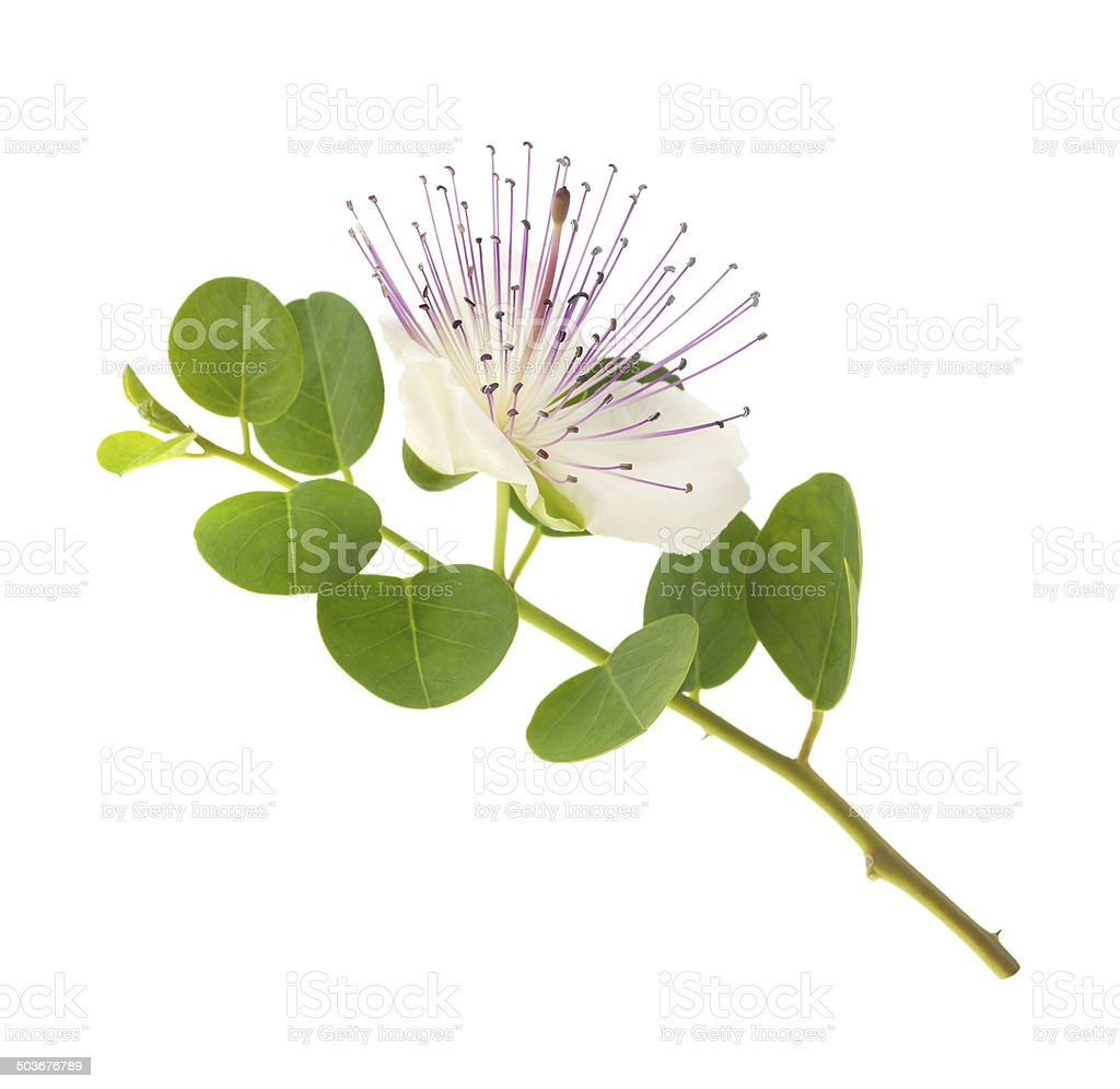 Caper flower stock photo