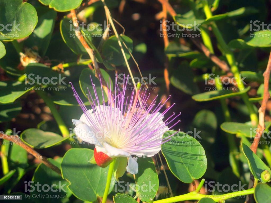 Kapern Blume die typische Pflanze der mediterranen Gegenden - Lizenzfrei Baumblüte Stock-Foto