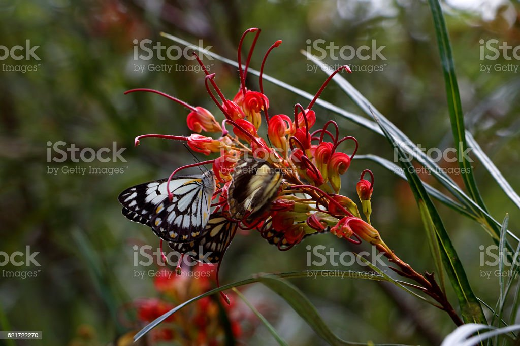 Caper White Butterfly on an Australian Grevillea Flower stock photo