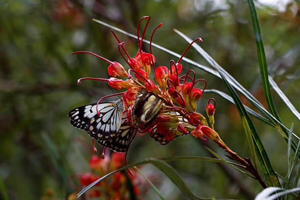 Caper White Butterfly on an Australian Grevillea Flower stock photo