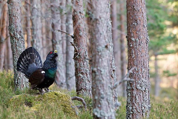 capercaillie adult male displaying in scottish highlands - tjäder bildbanksfoton och bilder