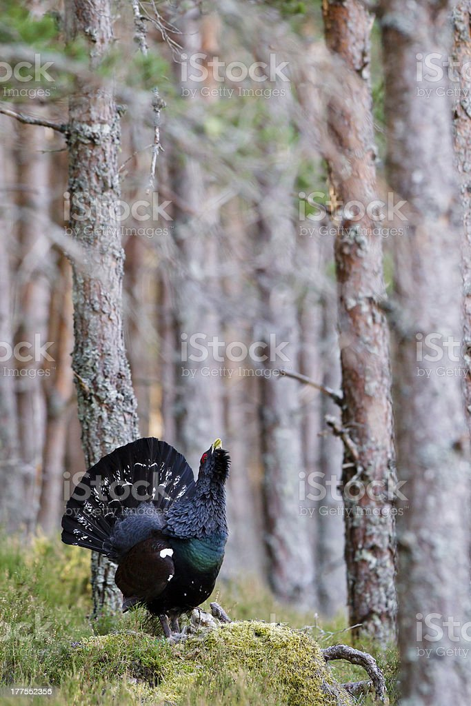 Capercaillie adult male displaying in Scottish highlands stock photo