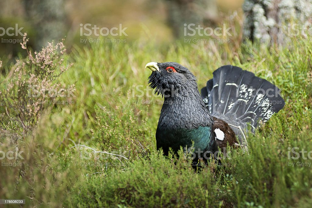 Capercaillie in heather stock photo