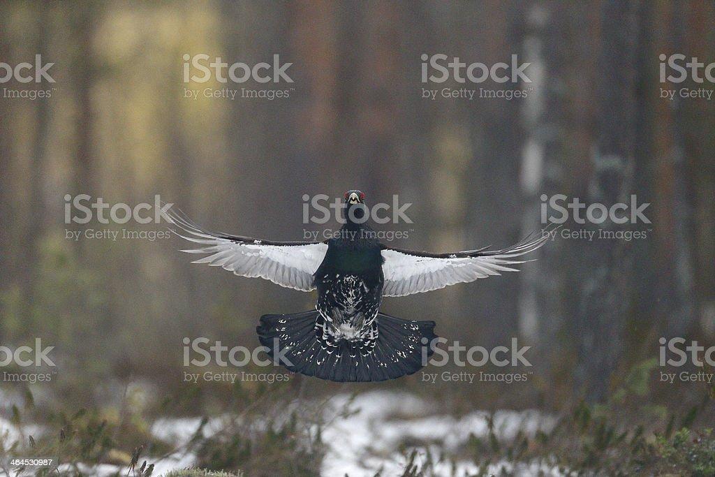 Capercaillie, Tetrao urogallus stock photo