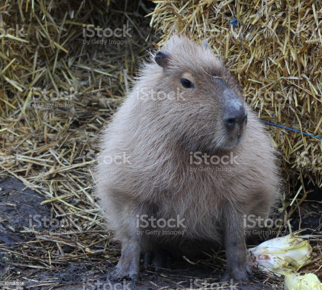 capibara stock photo