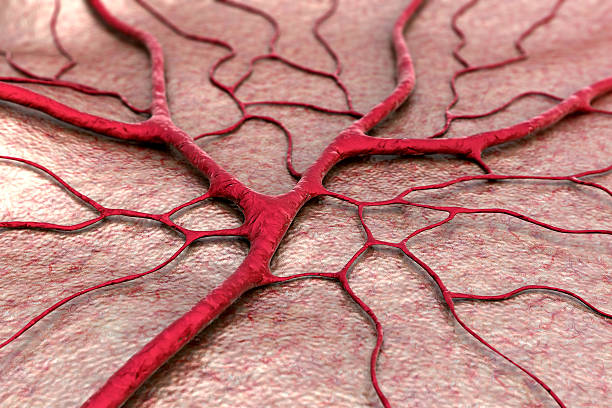 Capillary circulatory system, blood vessel high scale magnification stock pictures, royalty-free photos & images