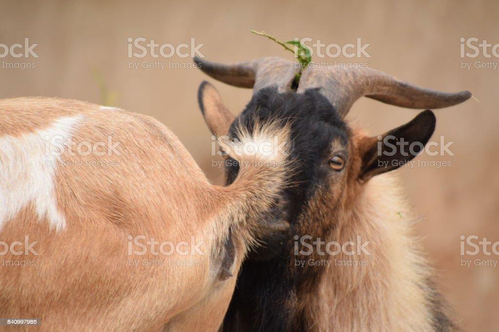 Capra aegagrus hircus mirando parte posterior de la hembra. stock photo