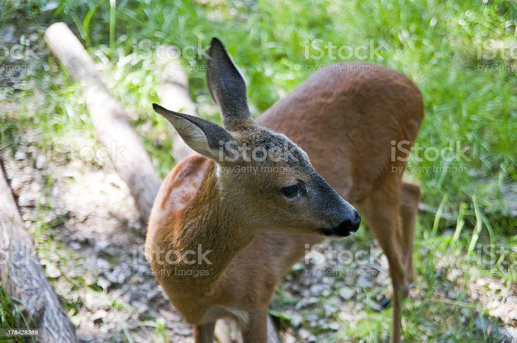 Capreolus stock photo