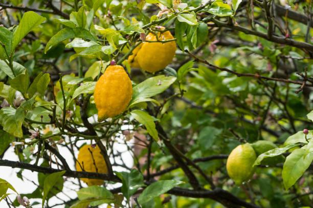 Capri Zitrone baum closeup – Foto