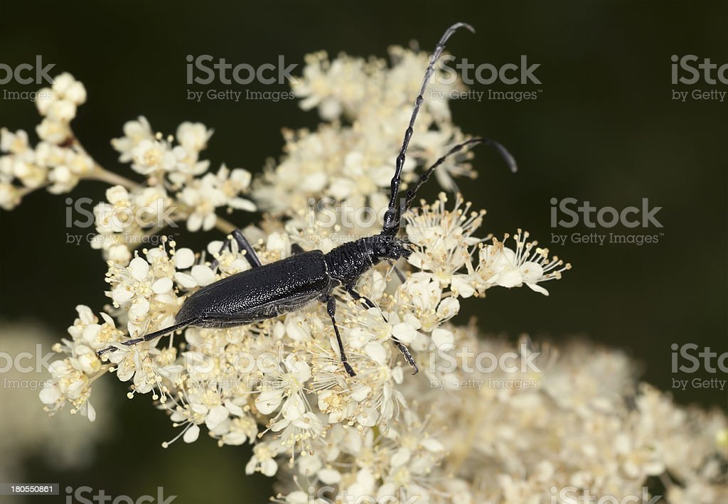 Capricorn beetle, Cerambyx scopolii feeding on white flower, macro photo royalty-free stock photo
