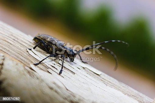 istock Capricorn beetle 860574282