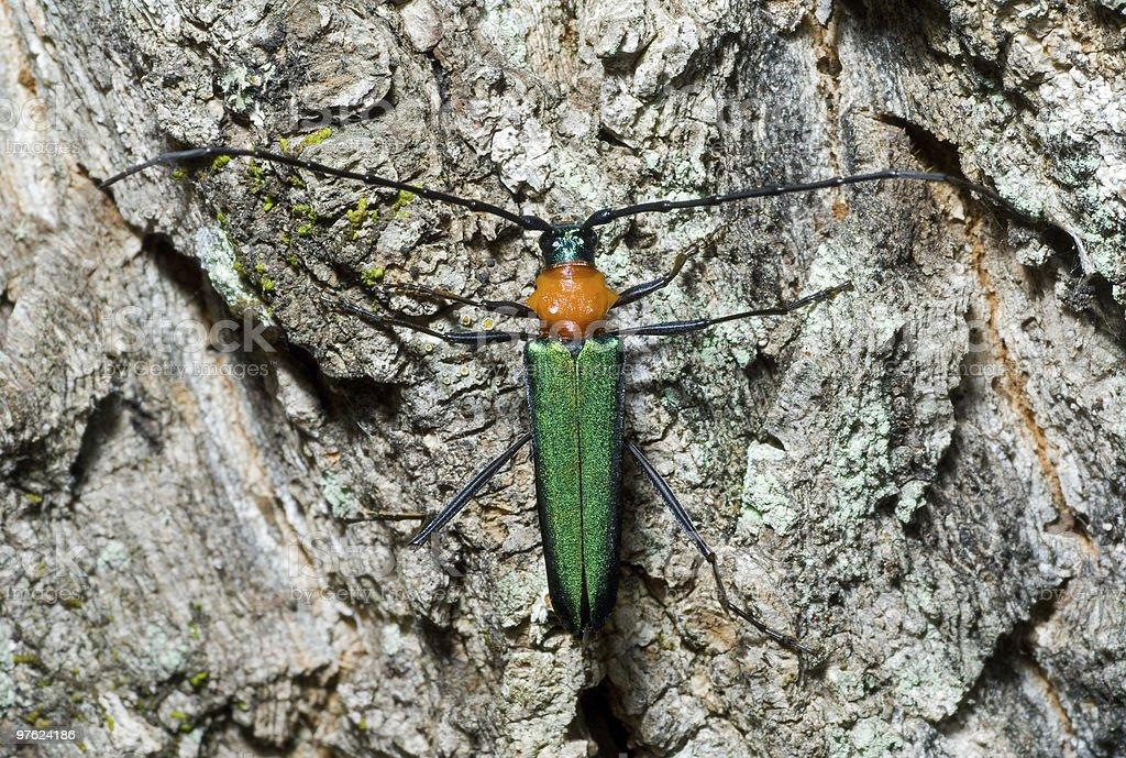 Capricorn beetle (Cerambycidae) royalty-free stock photo