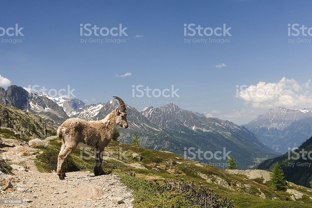 Capricorn in the French mountains royalty-free stock photo