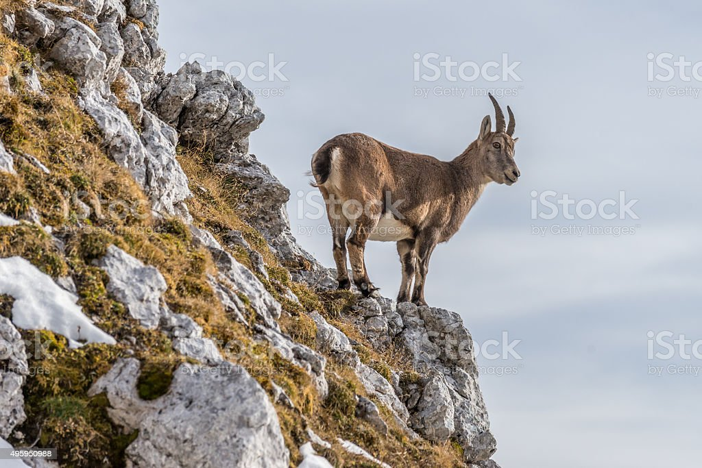 Capricorn in the Julian Alps stock photo