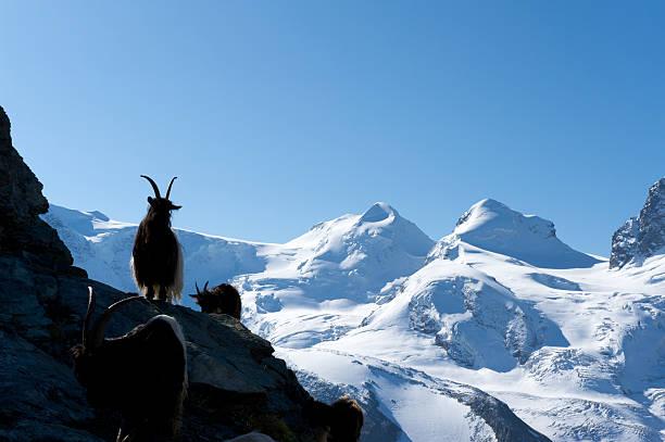 Steinbock in den Schweizer Bergen – Foto