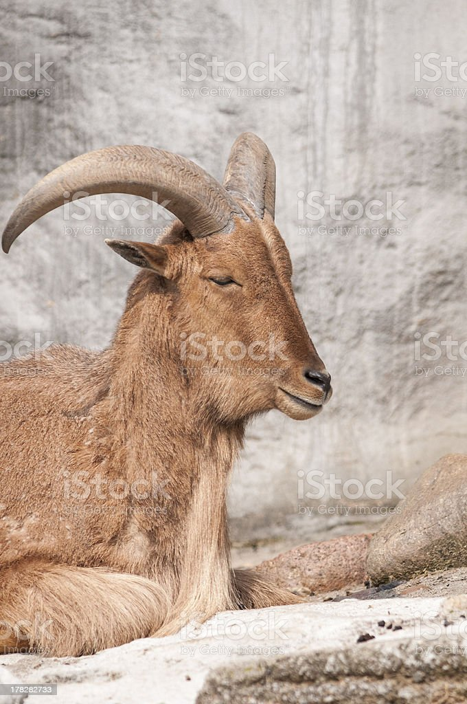 Capricorn royalty-free stock photo