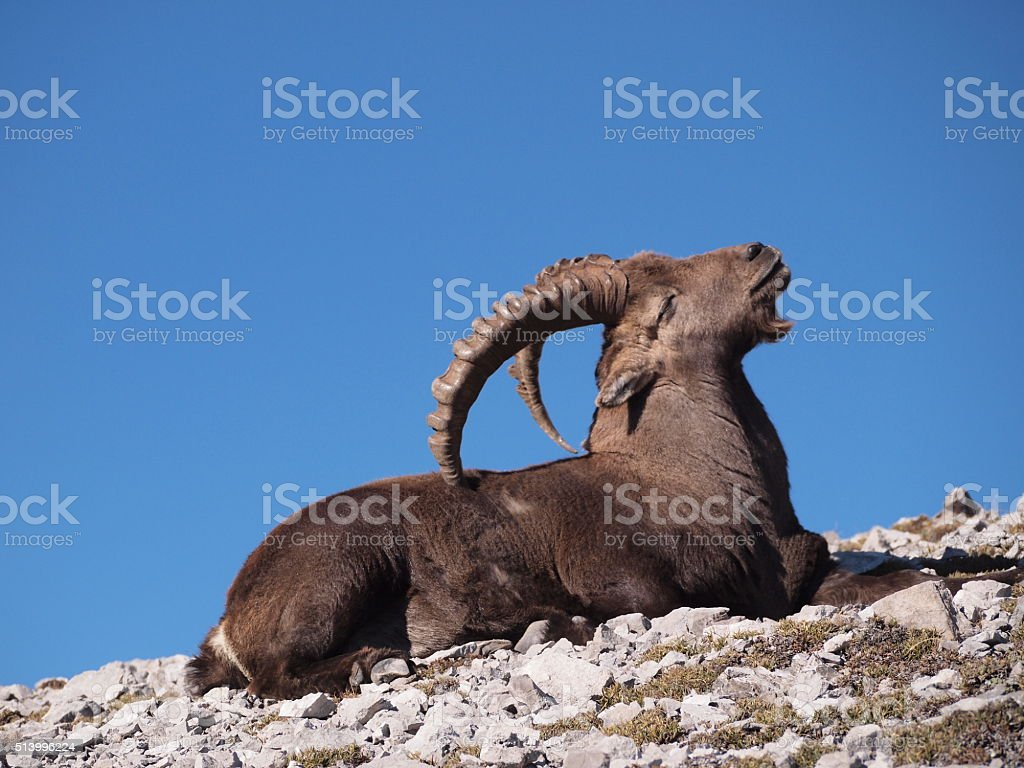 Capricorn relaxing on rocks scratching back stock photo