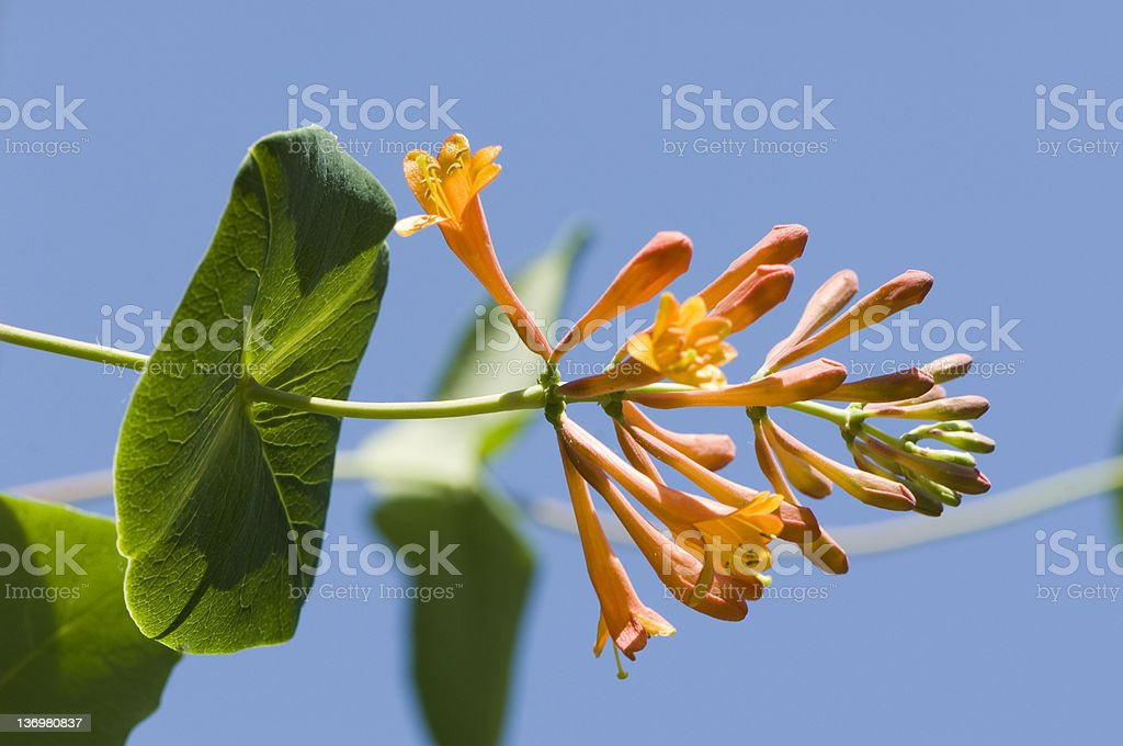 Caprifolium ( Honeysuckle ) royalty-free stock photo