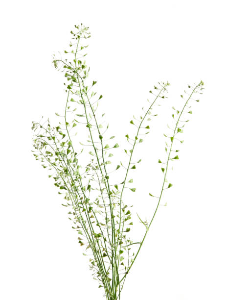 Capsella bursa-pastoris, known as shepherd's purse because of its triangular flat fruits, which are purse-like, is a small annual and ruderal flowering plant in the mustard family stock photo