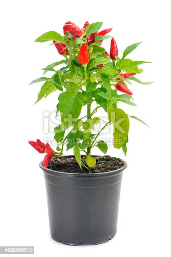 a plant of capsicum annuum with small red peppers in a black plant pot on a white background