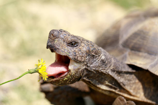 Captive adult male California Desert Tortoise eating Dandelion. stock photo