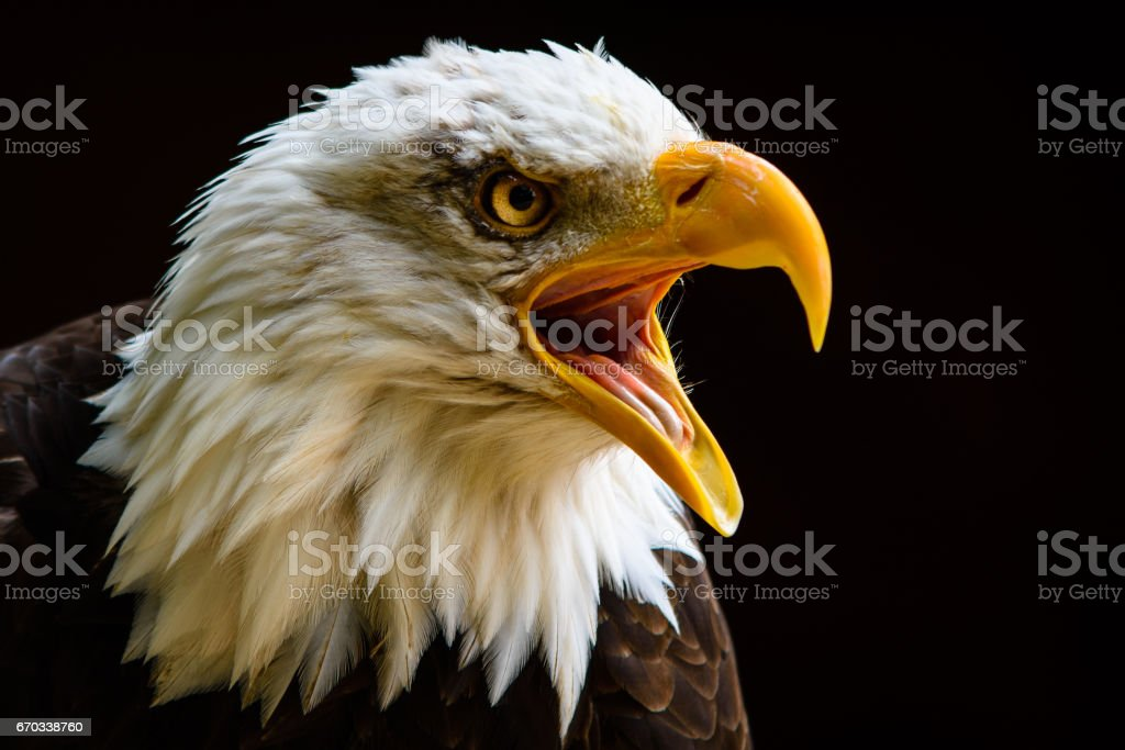 Captive Bald Eagle portrait taken at The Hawk Conservancy Trust Andover UK - foto stock