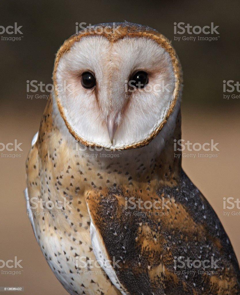 Captive Barn Owl stock photo