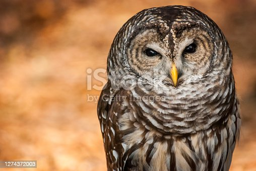 A captive Barred Owl at North Carolina's Carolina Raptor Center serves as an educational ambassador to teach visitors about birds of prey.