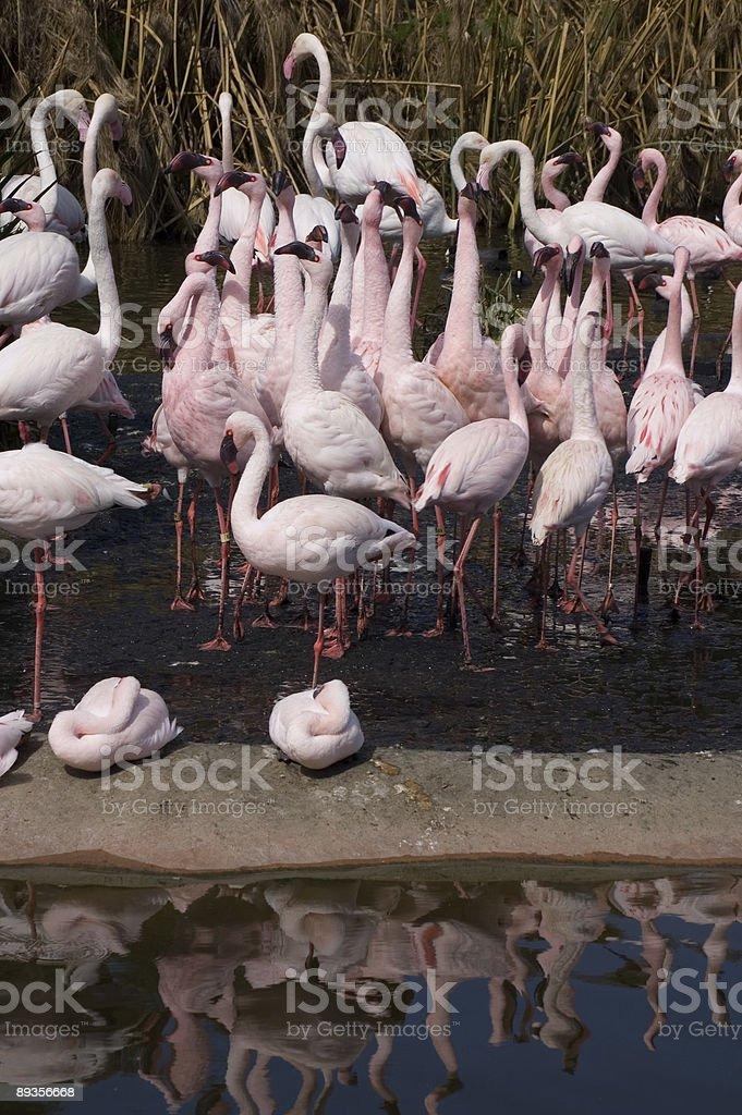 Flamingi wewnętrznej zbiór zdjęć royalty-free
